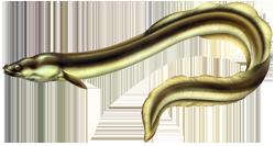 Anguille européenne
